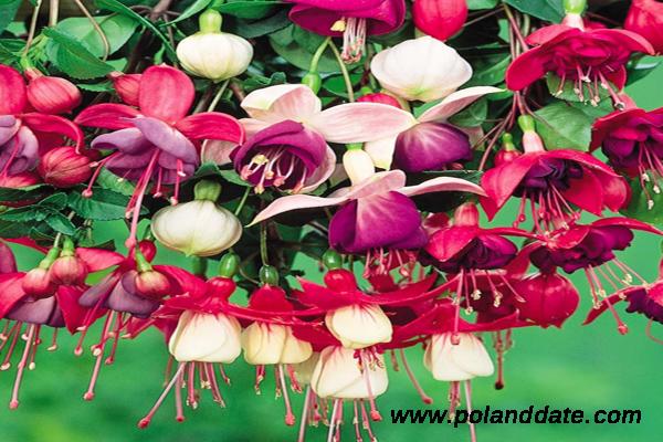 küpe çiçeğinin yetiştirilmesi, küpe çiçeği nasıl yetişir, küpe çiçeği yetiştiriciliği